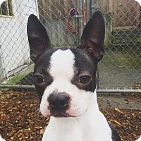 Adopt A Pet :: Suki - Seattle, WA
