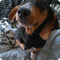 Adopt A Pet :: Brownie - Tampa, FL