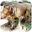 Photo 1 - Miniature Pinscher Dog for adoption in Florissant, Missouri - Marshall