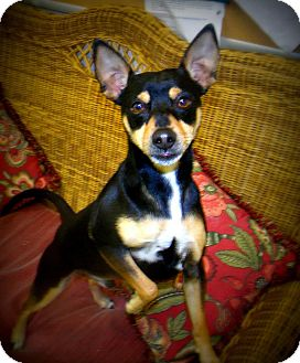 Miniature Pinscher Dog for adoption in Gadsden, Alabama - Mister