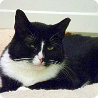 Domestic Shorthair Cat for adoption in Huntington, New York - Jasmine