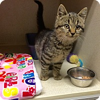 Adopt A Pet :: SCOTTY aka TIGER - Hamilton, NJ