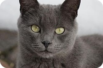 Domestic Shorthair Cat for adoption in Barnegat, New Jersey - Jinx