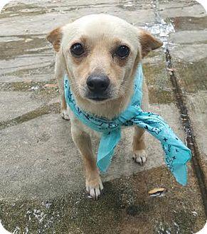 Chihuahua Mix Dog for adoption in San Antonio, Texas - Romeo