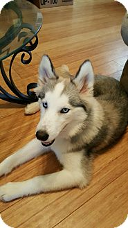 Siberian Husky Puppy for adoption in Clay, Alabama - Amera