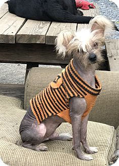 Chinese Crested Dog for adoption in Redding, California - Hendrix