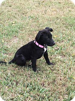 Labrador Retriever Mix Puppy for adoption in Saddle Brook, New Jersey - Prissy Princess