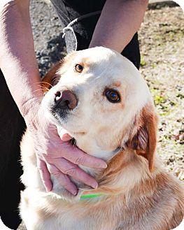 Labrador Retriever Mix Dog for adoption in Union City, Tennessee - Bode