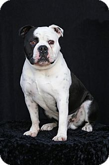 English Bulldog/American Bulldog Mix Dog for adoption in SAN PEDRO, California - 8 Ball