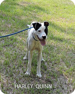 American Bulldog/Labrador Retriever Mix Dog for adoption in Washington, Georgia - Harley Quinn