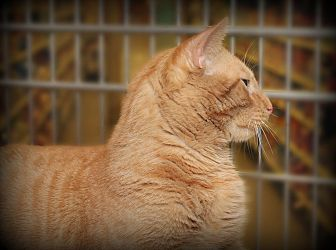 Domestic Shorthair Cat for adoption in Springfield, Pennsylvania - Jack