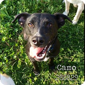 Labrador Retriever Mix Dog for adoption in Conroe, Texas - CAMO