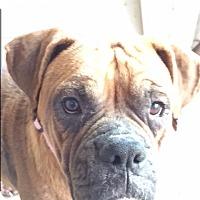 Adopt A Pet :: Beefsteak - Austin, TX