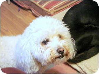 Bichon Frise Dog for adoption in Chandler, Arizona - Boogie Woogie