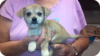 Chihuahua Mix Puppy for adoption in Hazard, Kentucky - Wiley