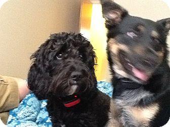 Cockapoo Dog for adoption in Fort Riley, Kansas - Spock