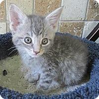 Adopt A Pet :: Layla - Acme, PA