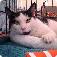 Domestic Shorthair Cat for adoption in Richmond, Virginia - Louie
