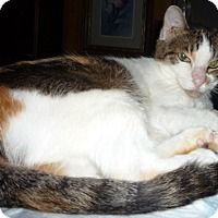 Adopt A Pet :: Pretty Kitty - Dallas, TX