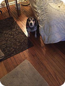 Beagle Dog for adoption in cleveland, Ohio - Jay
