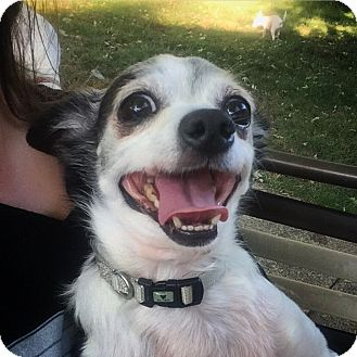 Chihuahua Mix Dog for adoption in Warrenville, Illinois - Tofu