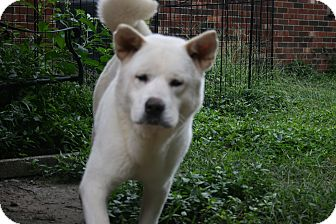 Akita Dog for adoption in Virginia Beach, Virginia - Bear