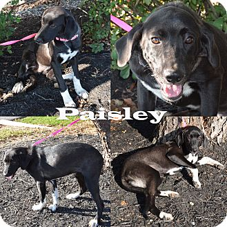 Labrador Retriever Mix Dog for adoption in Union City, Tennessee - Paisley