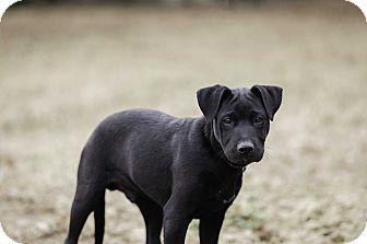 Labrador Retriever Mix Puppy for adoption in Seneca, South Carolina - Axl $250