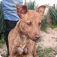 Adopt A Pet :: Valentine - Germantown, MD