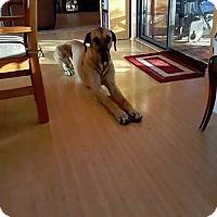 Adopt A Pet :: Bentley in Tucson - Phoenix, AZ