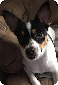 Chihuahua Dog for adoption in Boston, Massachusetts - Daisy 2