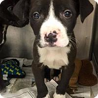 Adopt A Pet :: Emma - Chichester, NH