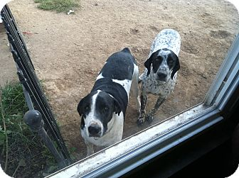 German Shorthaired Pointer/Australian Shepherd Mix Dog for adoption in Streetsboro, Ohio - Rooster and Doc