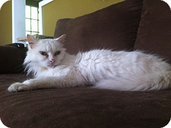 Domestic Mediumhair Cat for adoption in Huntsville, Ontario - Stella - Total sweetheart!