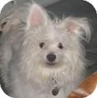 Maltese/Chihuahua Mix Dog for adoption in San Diego, California - Dino