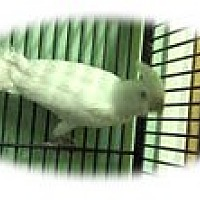 Adopt A Pet :: Rascal - Red Oak, TX