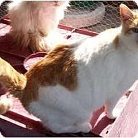 Calico Cat for adoption in Goodland, Kansas - Staches