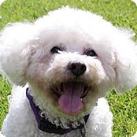 Adopt A Pet :: Daisey - La Costa, CA