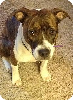 Boxer Mix Dog for adoption in Cincinnati, Ohio - Gabby