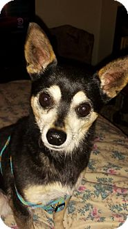 Chihuahua Dog for adoption in Plainview, New York - Coco