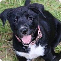Adopt A Pet :: Pixie - Austin, TX