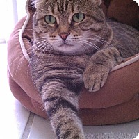 American Shorthair Cat for adoption in West Palm Beach, Florida - Chloe