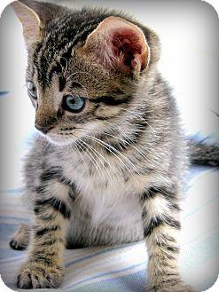 Domestic Shorthair Kitten for adoption in Mount Pleasant, South Carolina - Serena