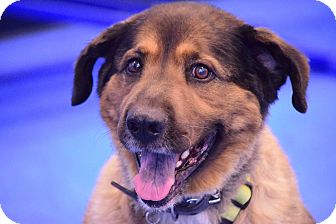 Chow Chow/Shepherd (Unknown Type) Mix Dog for adoption in Scottsdale, Arizona - Bear