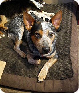 Australian Cattle Dog Dog for adoption in Malakoff, Texas - Savannah