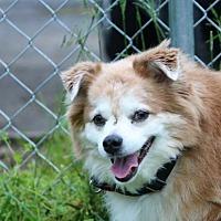 Adopt A Pet :: Sophie - Asheville, NC