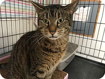 Domestic Shorthair Cat for adoption in Plainville, Massachusetts - Baby