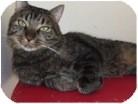 Domestic Shorthair Cat for adoption in El Cajon, California - Pepper
