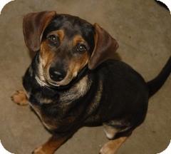 Beagle/Dachshund Mix Puppy for adoption in Newport, Vermont - Jerry