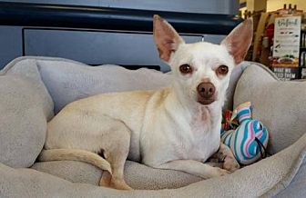 Chihuahua/Chinese Crested Mix Dog for adoption in Brighton, Tennessee - Lacy (GAPR/TN foster)